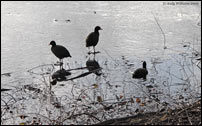 Coots on Hydes Road pool, Wednesbury