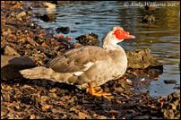 Muscovy Duck, Wednesbury (Hydes Road pool)